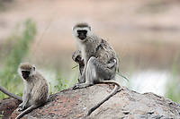 female and mother Vervet Monkey Chlorocebus with juvenile in the masai mara reserve in kenya africa