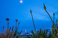 Agapanthus in trough by moonlight, view to the London Telecom Tower