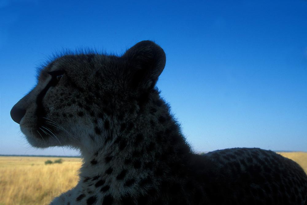 Africa, Kenya, Masai Mara Game Reserve, Silhouette of Adult Female Cheetah (Acinonyx jubatas) resting on safari truck