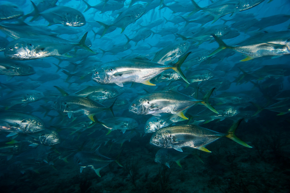 Crevalle Jacks, Caranx hippos, swarm a shallow reef offshore Palm Beach, Florida, United States.