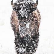 Bison under the snow