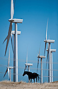 A horse stands in the field with windmills in Solano Country. California wind power is on the rise. Already, the state's wind farms generate 4 percent of the electricity mix, and that's bound to increase as the state moves to get 33 percent of its energy from renewable sources by 2020. The governor has made smaller distributed wind energy projects that offer on-site energy supplies a centerpieces of his energy reform platform. And California has 15 companies that manufacture equipment for the wind energy. While a majority of new wind farm projects will be built in Southern California, a local wind farm in Solano County is being developed, serving SMUD and private companies. August 16, 2011.