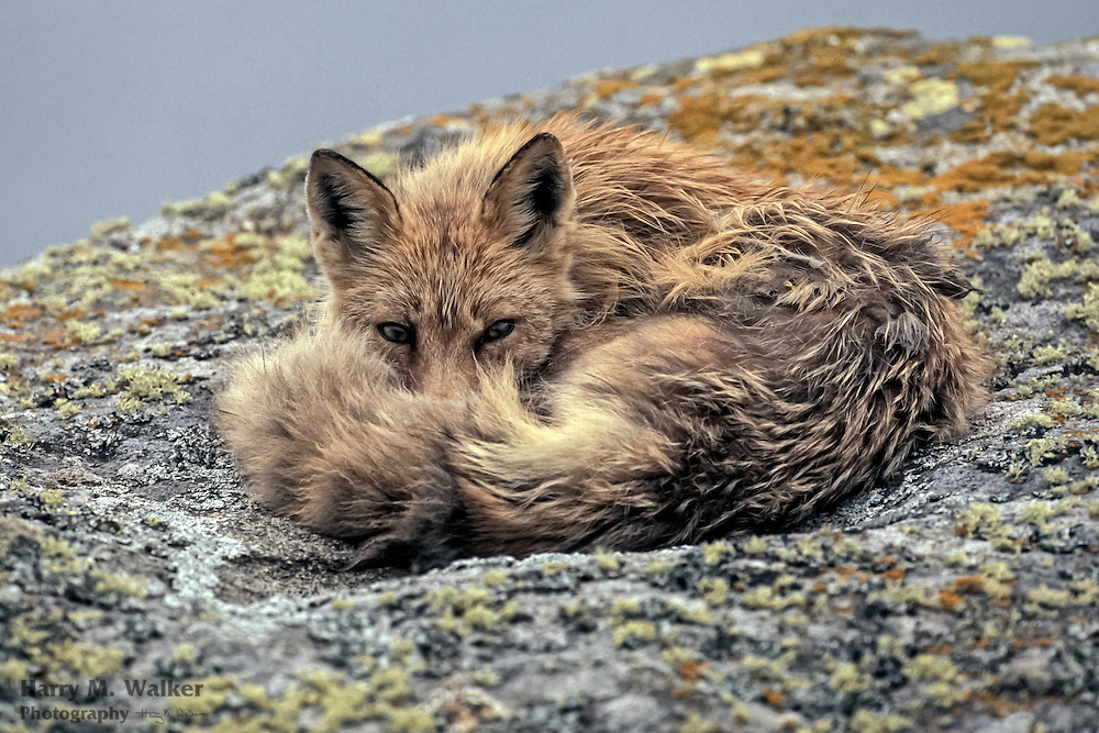 Red Fox (Vulpes volpes) adult; Round Island; Walrus Islands State Game Sanctuary; Alaska