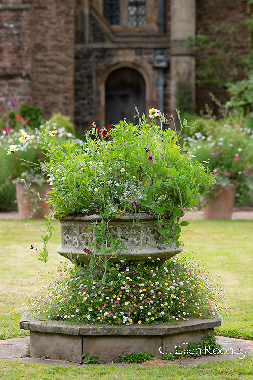 A carved stone font with erigeron growing around the base at Cothay Manor, Greenham, Wellington, Somerset, UK