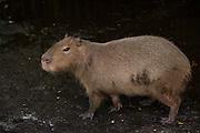Capybara (Hydrochoerus hydrochaeris)<br /> Zoo<br /> Georgetown<br /> GUYANA<br /> South America