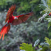 A Scarlet Macaw, wings spread, frontal view, prespares to land in a tree while another Macaw watches