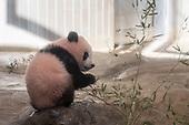 Japan : Baby panda Xiang Xiang