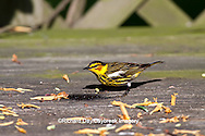 01485-001.06 Cape May Warbler (Dendroica tigrina) male on deck eating jelly,  Marion Co., IL