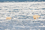 01874-12108 Polar Bear (Ursus maritimus) mother and cub jumping on ice in Hudson Bay  in Churchill Wildlife Management Area, Churchill, MB Canada