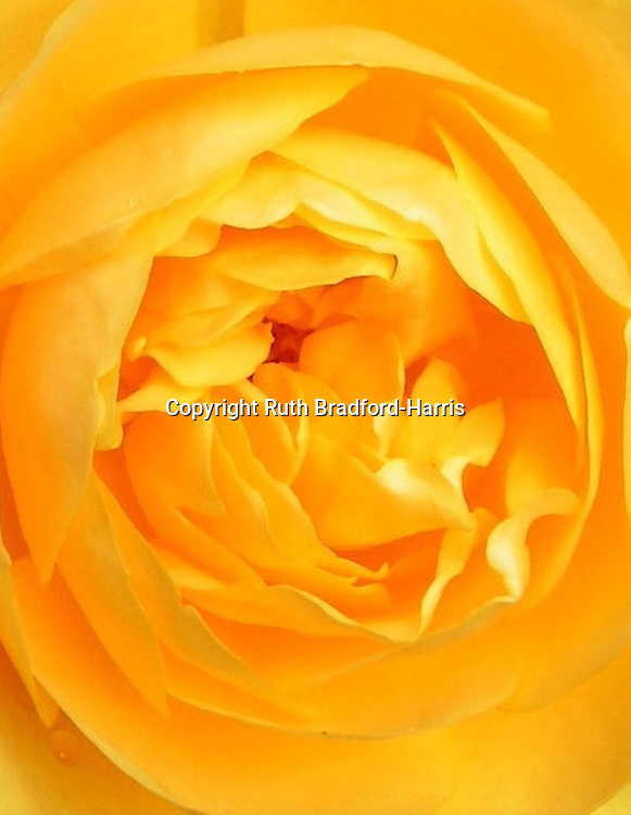 A close-up (macro) view of the gloriously ruffled, golden petals of Rosa 'Graham Thomas'. Bred by David Austin and one of his celebrated English Roses. Unusually, it has an exquisite tea scent, lost in the excessive breeding of hybrid tea roses in the 1950's to 1970's, but recaptured by Mr.Austin's meticulous breeding skills. Named after Graham Stuart Thomas, the eminent rose expert and enthusiast who created the wonderful rose gardens at Mottisfont Abbey. <br />
