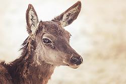 THEMENBILD - der Kopf eines jungen Rotwild, aufgenommen am 16. Februar 2019 in Maria Alm, Oesterreich // the head of a young deer, in Maria Alm, Austria on 2019/02/16. EXPA Pictures © 2019, PhotoCredit: EXPA/Stefanie Oberhauser