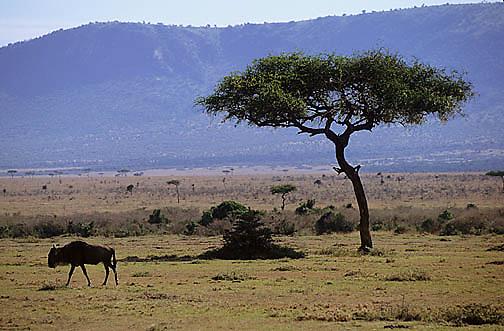 Blue Wildebeest, (Connochaetes taurinus) Loner. Serengeti Plains. Masai Mara Game Reserve. Kenya. Africa.