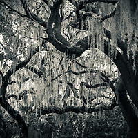 Live oak trees dripping with Spanish Moss next to Lake Harris at Hickory Point Park in Central Florida.