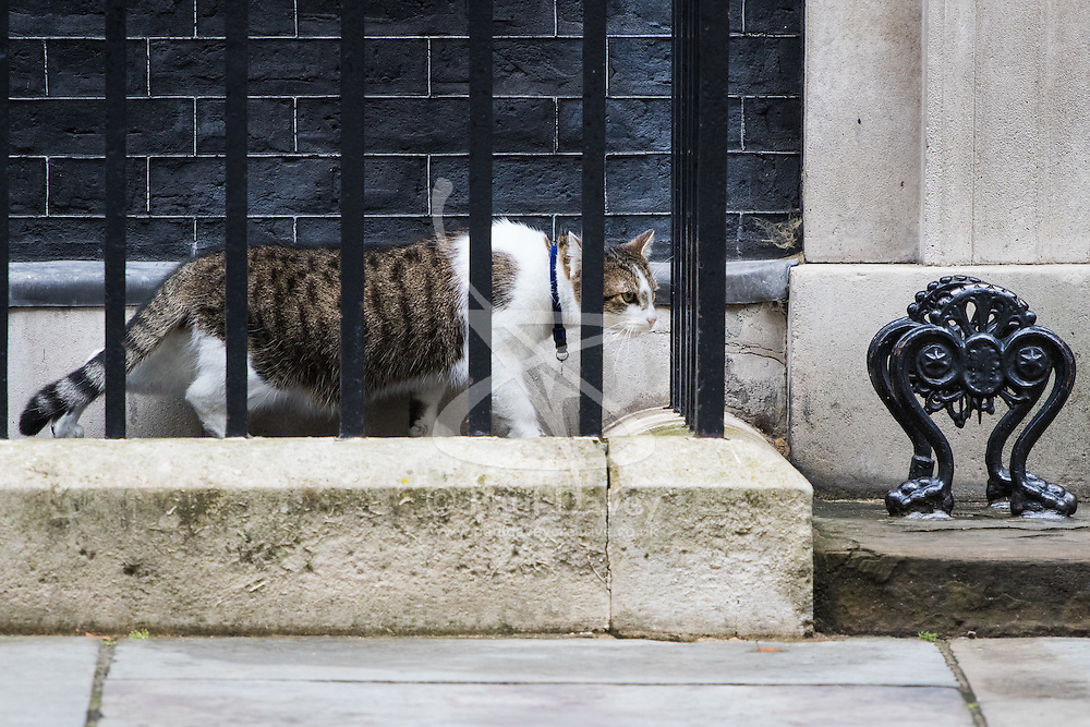 Downing Street, London, August 2nd 2016. Tensions appear to be ongoing in Downing Street as Larry the cat from No. 10 and Palmerston, newly resident at the Foreign Office continue their territorial feud. PICTURED: A clearly intimidated Larry creeps back to the door of No 10.