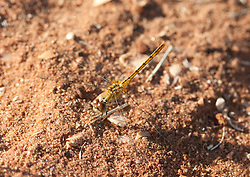 An April dragonfly on the sand by the Conti Foreshore in Broome.
