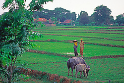 Rice Field Farmers Agriculture