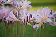 Magic Lilies, Lycoris squamigera at the Webster Home place at Ducker Station return year after year.