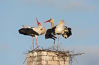 White stork (Ciconia ciconia) pair displaying at nest on old chimney. Rusne, Lithuania. Mission: Lithuania, June 2009