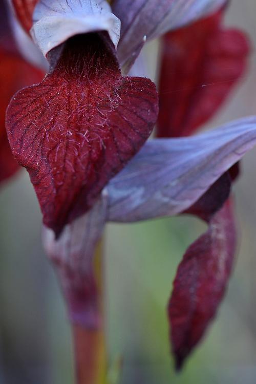 Heart-flowered Serapias, Serapias cordigera, Faia Brava reserve, Coa valley, Portugal, Western Iberia rewilding area