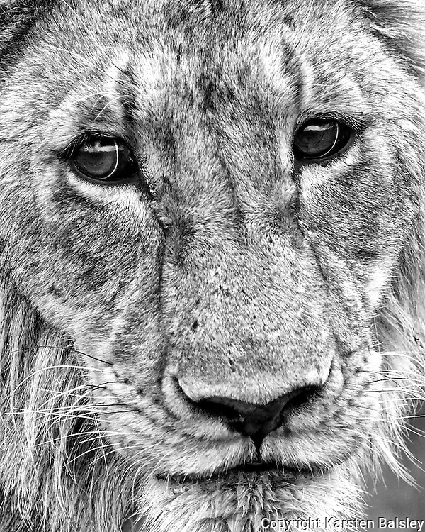 :Simba&rdquo;                                                           Tanzania<br />  To look into the eyes of a lion, is to look into the soul of oneself.