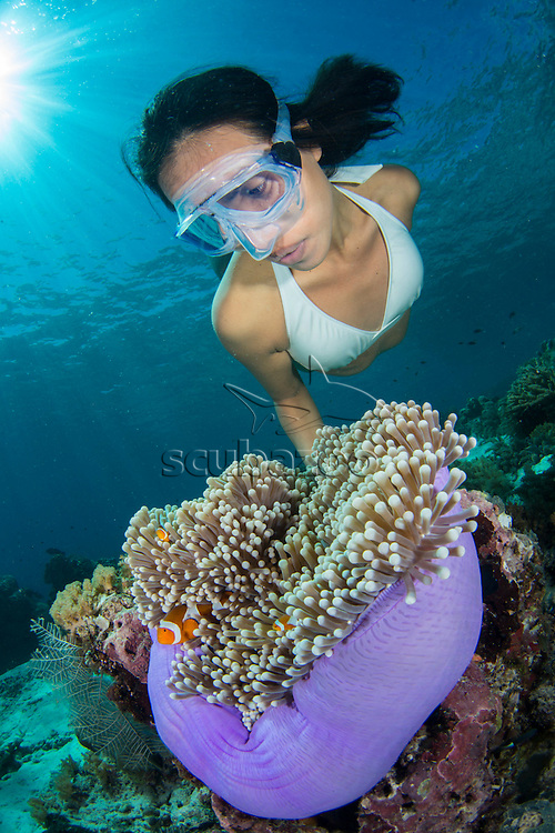 Free diver, Ai Futaki, looking at false clown amemonefish, Amphiprion ocellaris, hiding in anemone, Sipadan, Sabah, Malaysia