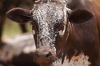 Herd of nguni cattle