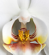 A macro shot of a white orchid