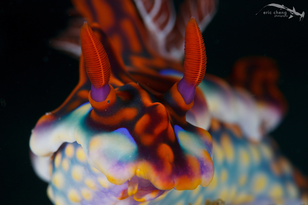 A magnificent ceratosoma nudibranch (Ceratosoma magnificum) in Horseshoe Bay, Rinca, Komodo National Park, Indonesia.