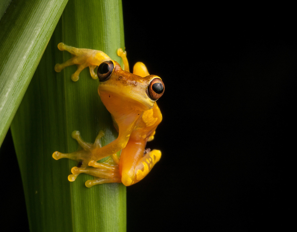 An Hourglass Frog, Dendropsophus ebraccatus,  on a blade of grass in the Osa Peninsula.
