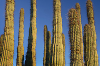 Organ Pipe Cactus (Stenocereus thurberi), Organ Pipe Cactus National Monument Arizona