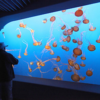 "Visitors tour ""The Jellies Experience"" at the Monterey Bay Aquarium, which is located on Cannery Row in Monterey, California, on Friday July 13, 2012.(AP Photo/Alex Menendez)"