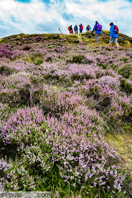 Hike through fields of purple heather flowers from Great Broughton to Blakey Ridge, in North York Moors National Park, North Yorkshire county, England, United Kingdom, Europe. British taxpayers subsidize this privately-owned National Park, where the high, semi-natural moorland is managed by farmers and landowners for traditional sheep farming and grouse shooting. Burning the heather encourages new growth to provide food for sheep and the native red grouse (Lagopus lagopus scotica, a subspecies of willow ptarmigan). Controversial killing of foxes, stoats and crows (predator control) is done to increase grouse density. While only a rich elite can afford the regulated hunt for grouse, hunting infrastructure supports the local economy. Three types of heather grow on the North York Moors: 1) Ling (Calluna vulgaris), the most common type here, has very tiny pink flowers generally blooming in mid- to late-August; 2) Bell heather has dark pink or purple bell-shaped flowers; 3) Cross-leaved heath, found in boggy areas, blooms with pale pink bell-shaped flowers. England Coast to Coast hike day 11 of 14. [This image, commissioned by Wilderness Travel, is not available to any other agency providing group travel in the UK, but may otherwise be licensable from Tom Dempsey – please inquire at PhotoSeek.com.]
