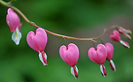 Roslyn Heights, NY:  Sunday, May 8, 2011---  Bleeding heart bloom in a Long Island garden.  © Audrey C. Tiernan