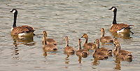 A Canada Goose (Branta canadensis) family of two adults and ten goslings swims as a group in Seabeck Bay of the Hood Canal in Puget Sound, Washington state. USA.
