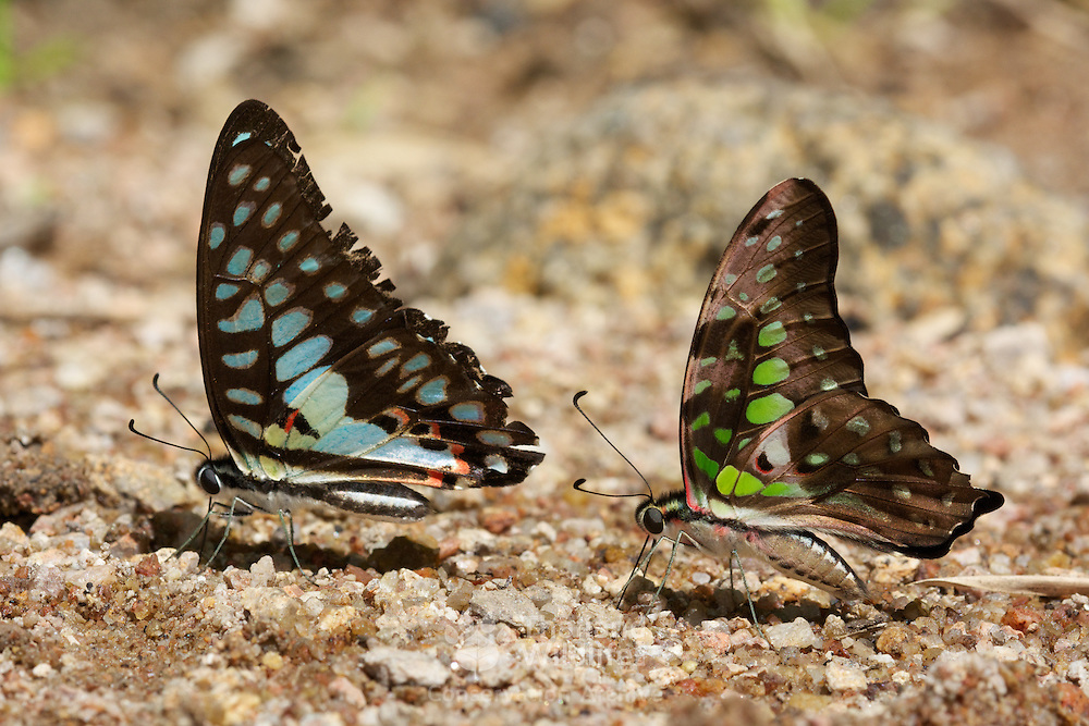The Common Jay (Graphium doson evemonides) and The Tailed Jay (Graphium agamemnon agamemnon) seen puddling together at Chaloem Phrakiat Thai Prachan National Park, Thailand.