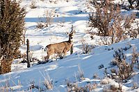 A Mule Deer doe not only has to deal with the snow but also has to deal with a farmers fence.