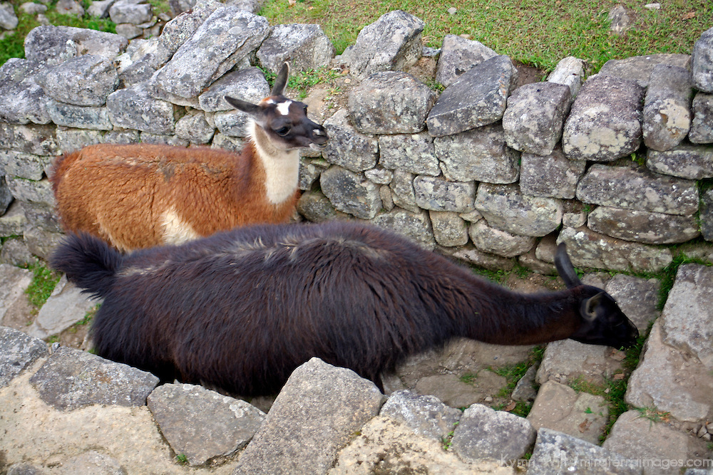 South America, Peru. Llamas at Machu PIcchu, a UNESCO World Heritage Site.