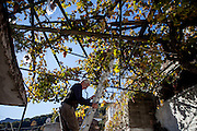 Pandalis Theodorakis harvesting wine grapes on his property in Maza, a mountain village located close to Palaiochora which is a small town in Chania regional unit on the island of Crete, Greece.