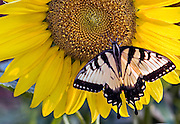 SOUTH CAROLINA, ROCK HILL:  Zebra Swallowtail butterfuly feeding on bright, yellow sunflower.