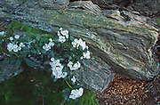 PA landscapes, Spring, Mountain Laurel, Pennsylvania Wildflowers, Tuscarora State Forest