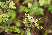 Elegant Grasshopper. Vernon Crookes Nature Reserve. Southern KwaZulu Natal. South Africa