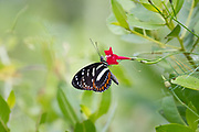 Butterfly on red flower, Manglares Churute