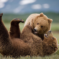 USA, Alaska, Katmai National Park, Brown Bears (Ursus arctos) wrestling in meadow along Hallo Bay