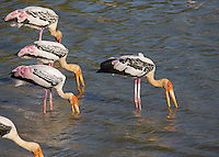 Painted Stork (Mycteria leucocephala) feeding in a lake, Yala National Park, Sri Lanka