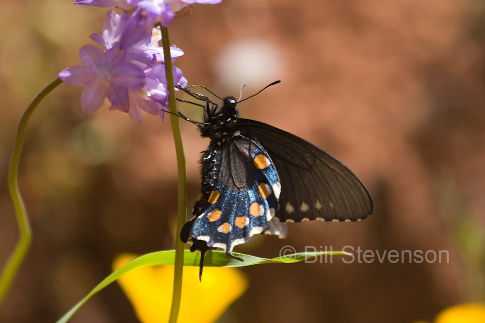 A photo of a butterfly on a Penstemon flower in the Sierra foothills.