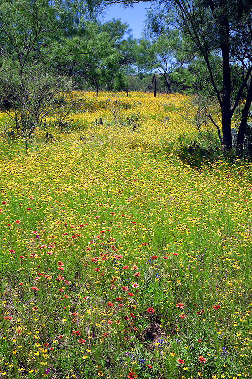 The very rural  Willow City Loop, near both Johnson City and Fredericksburg in the Hill country of central Texas, fills with a variety of wildflowers in spring.  This meadow mixes a smattering of Texas Bluebonnets (Lupinus texensis) with red-orange Indian Blanket Flower (Gaillardia aristata) and yellow Brown-eyed Susans (Rudbeckia hirta, var. augustifolia), anchored by mesquite trees.