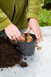 Planting narcissus bulbs in container