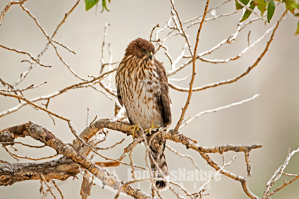 A Coopers Hawk perches in a tree drying off from the morning rain.