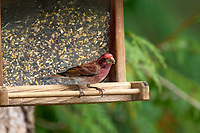 Purple Finch (Carpodacus purpureus), Nanaimo, British Columbia, Canada   Photo: Peter Llewellyn
