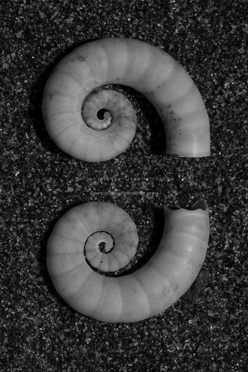 Spirula spirula is a species of deepwater squid-like cephalopod mollusk. It is the only extant member of the genus Spirula, the family Spirulidae, and the order Spirulida. It is commonly known as the ram's horn squid, little post horn squid or tail-light squid...Live specimens of this cephalopod are very rarely seen, because it is a deep-ocean dweller. The small internal shell of the species is however quite a familiar object to many beachcombers. The shell of Spirula is extremely light in weight, very buoyant and quite strong; it very commonly floats ashore onto tropical beaches (and sometimes even temperate beaches) all over the world. This seashell is known to shell collectors as the ram's horn shell or simply as Spirula.